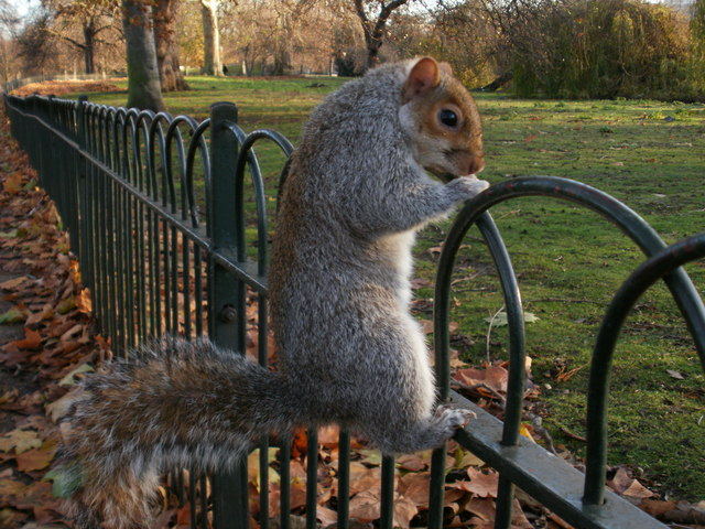 Squirrel in St James's Park