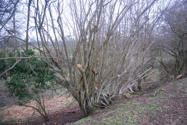 Coppiced tree by the footpath
