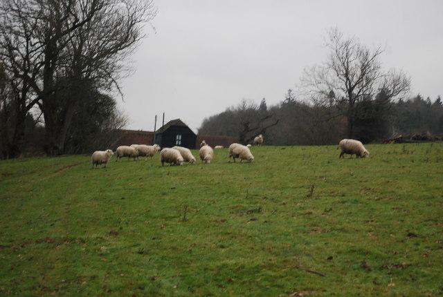 Sheep grazing near Moorden Farm
