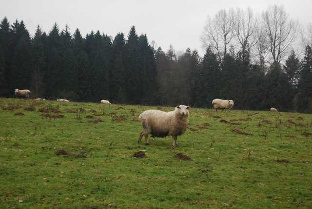 Sheep, west of Station Hill