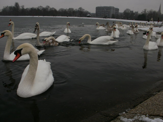 Cold survivors - swans on the Round Pond