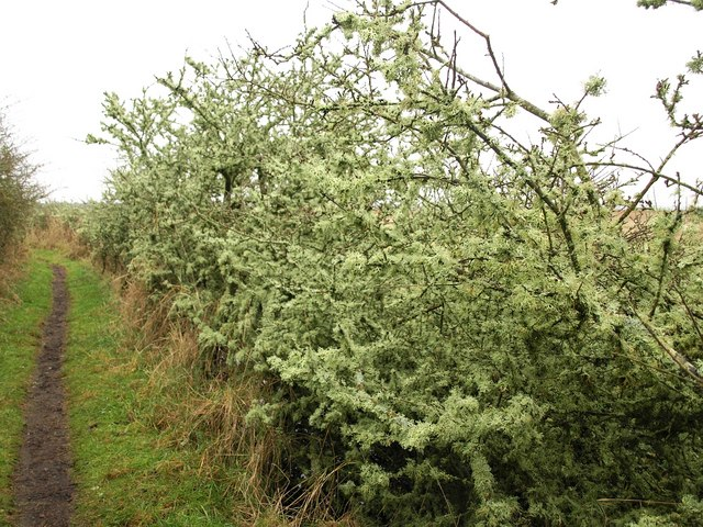 Lichen-covered bushes near Swineham Point
