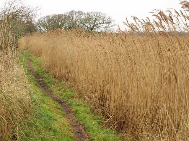 Reeds by the path