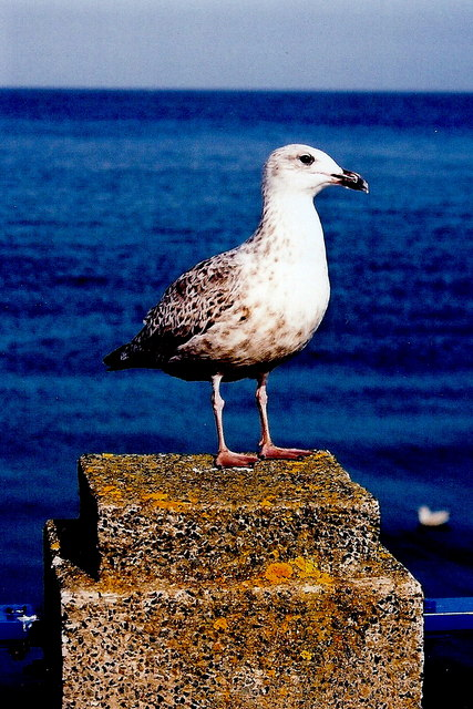 Douglas Bay - Loch Promenade - Sea gull