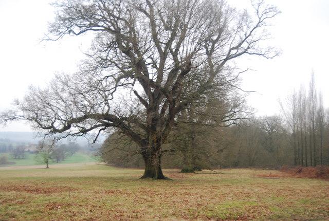 Large tree, Penshurst Park