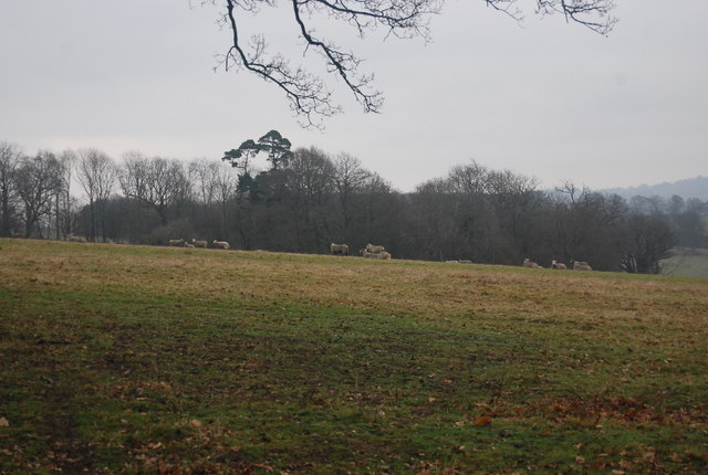 Sheep, Penshurst Park