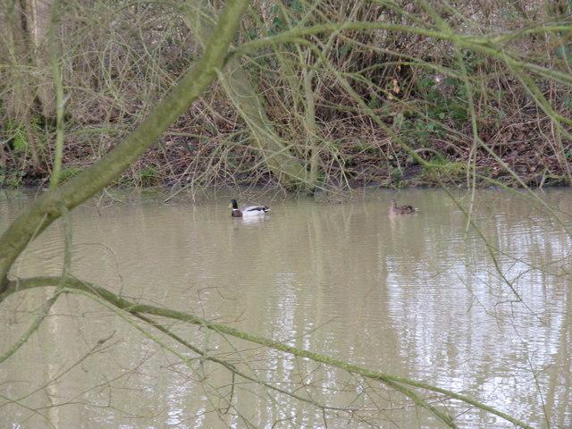 Ducks on Upper North Pond