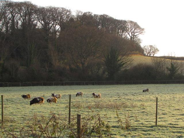 Sheep grazing east of Washford Mill