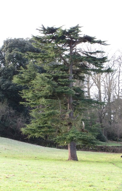 Tree in the grounds of Croydon Hall
