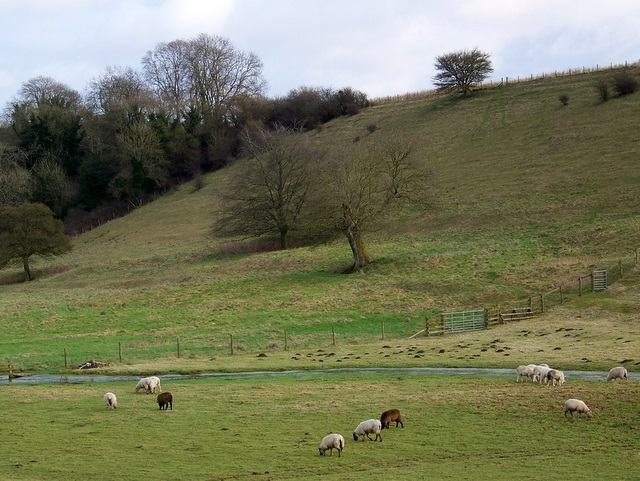 Sheep grazing by the River Ebble