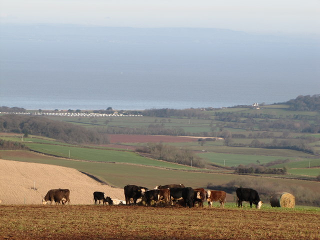 Cattle grazing on a Somerset Hillside