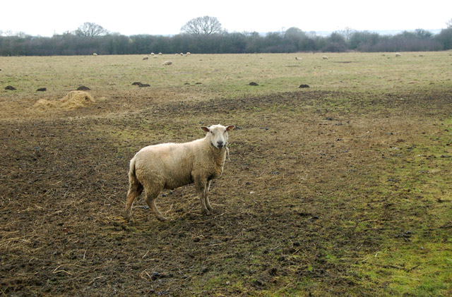 A ram in a muddy pasture near Tomlow