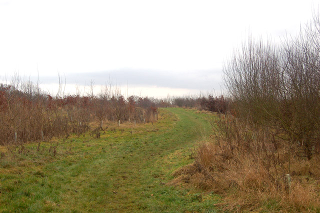 Looking east through a young plantation near Tomlow