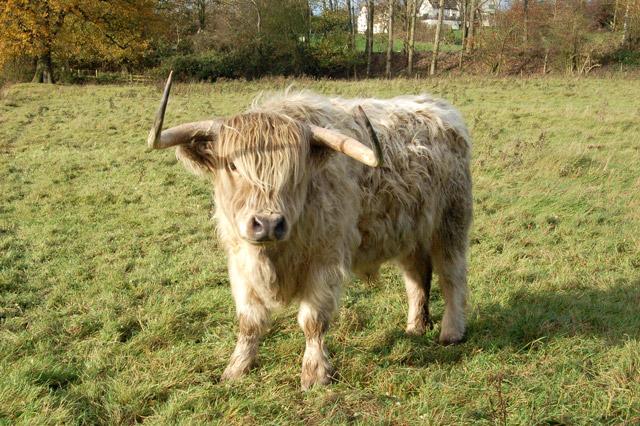 A highland cow in a pasture near Hatton locks