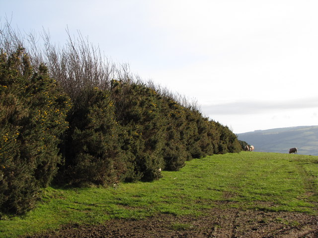 Well developed Gorse hedge off Stout's Way Lane
