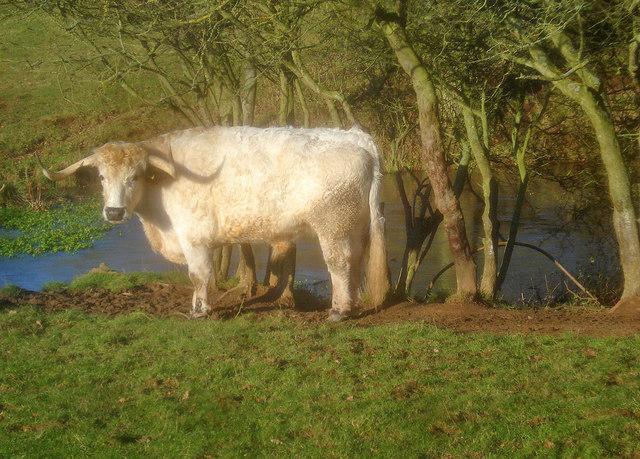 White Park cattle in Bromesberrow Park - 2