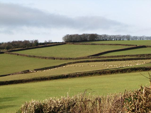 A line of sheep on the hillside, Slowley Farm