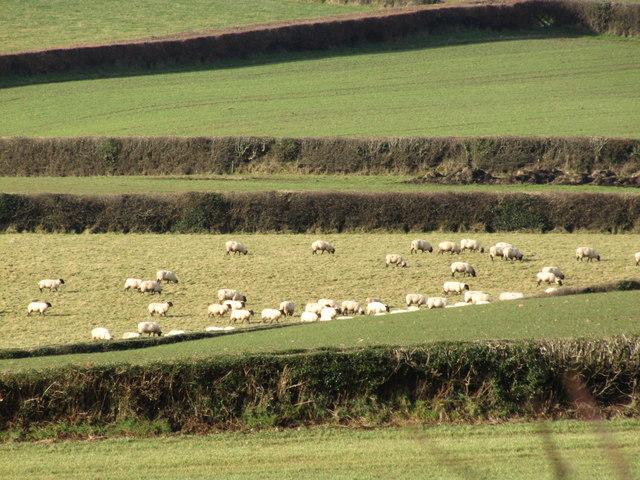 Sheep grazing, Slowley Farm