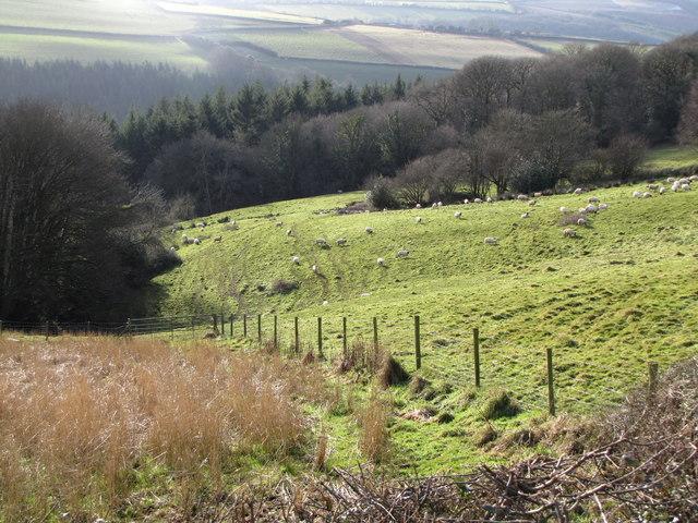 Sheep grazing off Stout's Way Lane