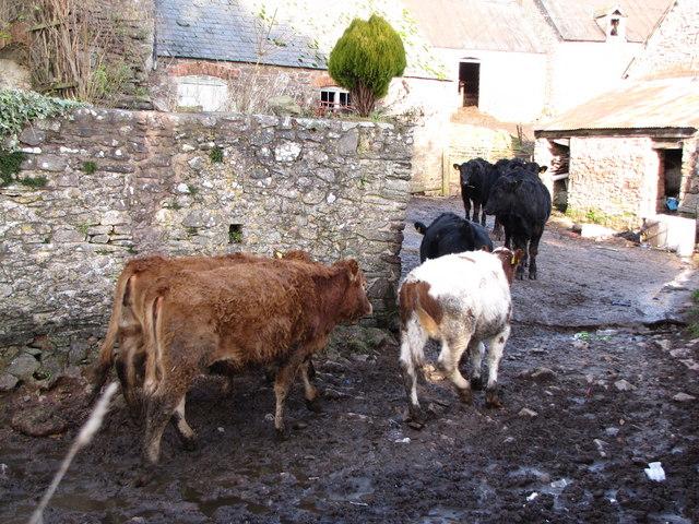 Cattle, Slowley Farm