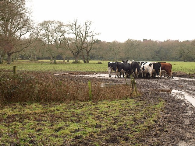 Cattle near Stoborough