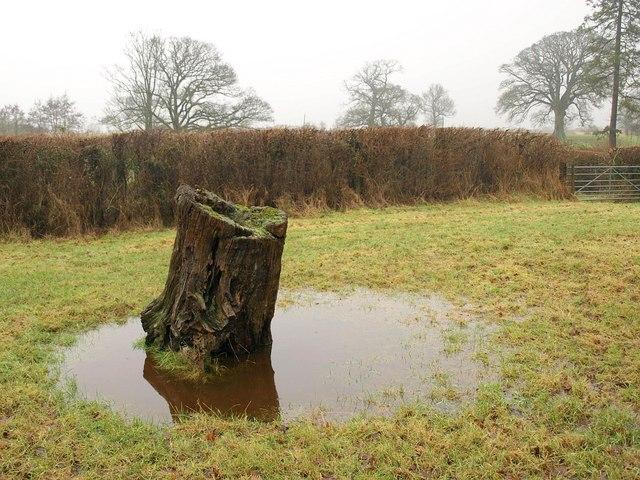 Tree stump near Stallards