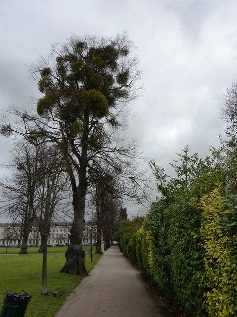 Mistletoe-laden lime tree, Montpellier Gardens, Cheltenham
