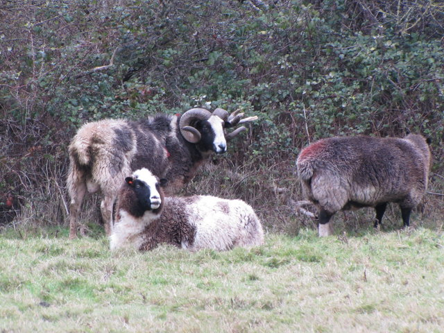 Sheep near Bossington