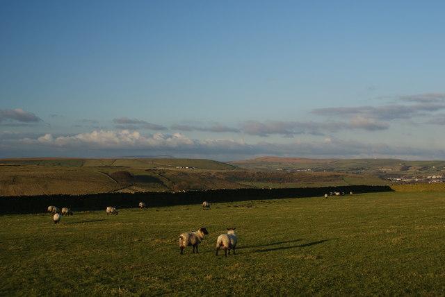 Sheep grazing behind Tor Hill