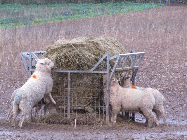 Sheep feeding on hay, West Porlock