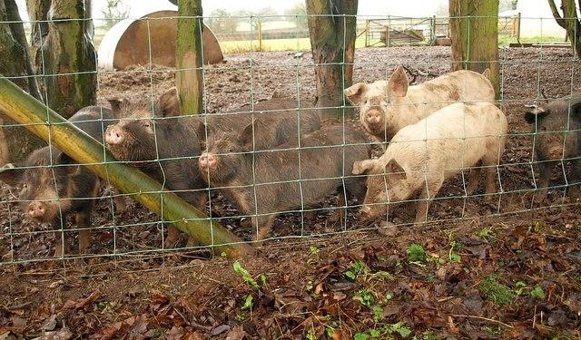 Piglets, Bagley Green