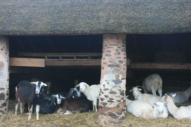 Goats, Bossington