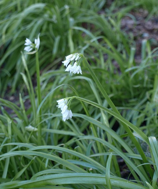 Three-cornered leek, Ilsham Marine Drive
