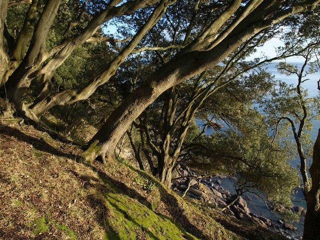 Holm oaks, Ilsham Marine Drive