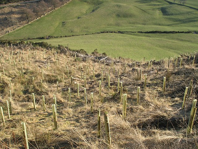 Replanted woodland, Gask Hill