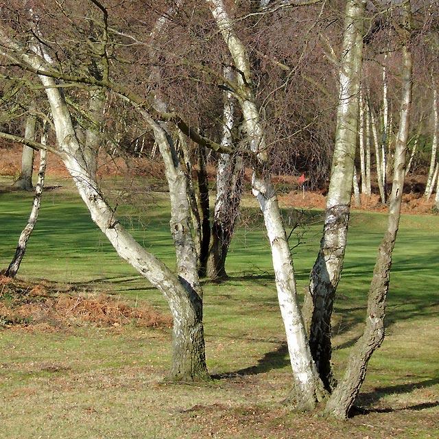 Birch Trees near Halfpenny Green, Staffordshire