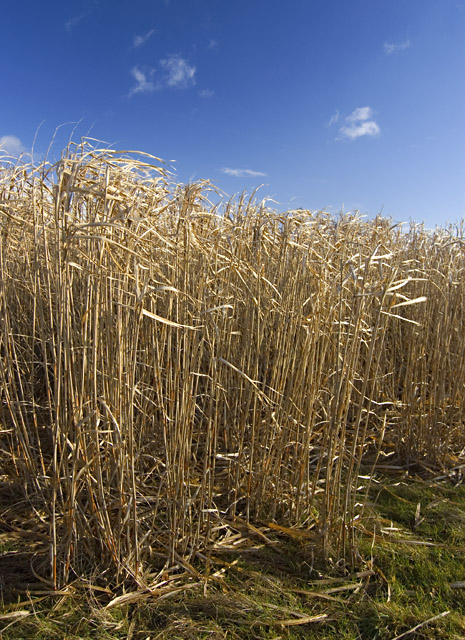 Tall grass, Southburn