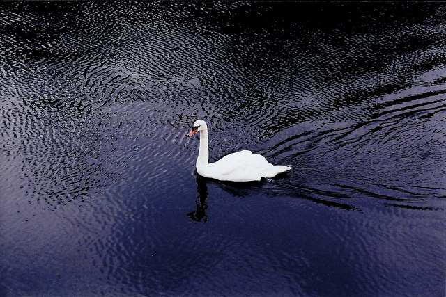 Castletown - Swan in Silver Burn River along The Quay
