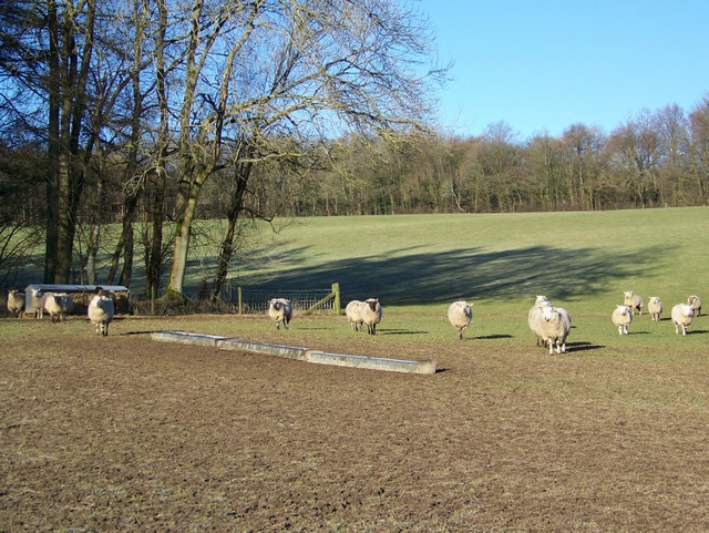 Sheep, Clatford Bottom