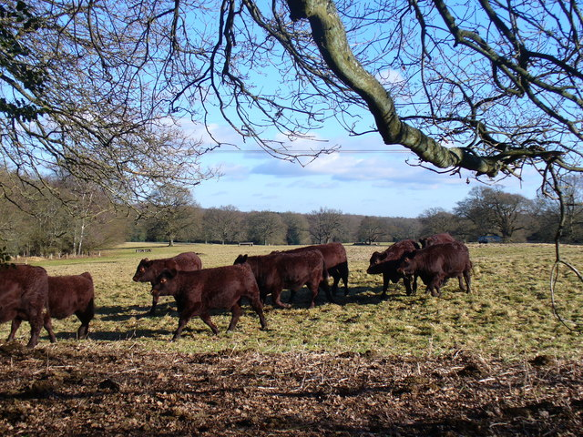 Cattle by Suffield Lane