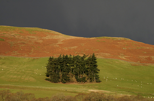 A conifer stand on Stenhouse Hill