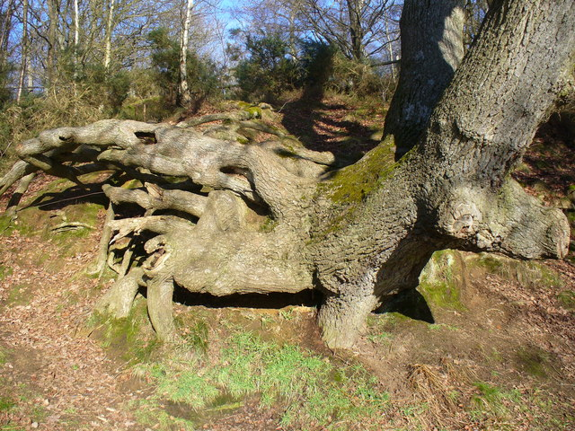 Tree Roots, The Tarn