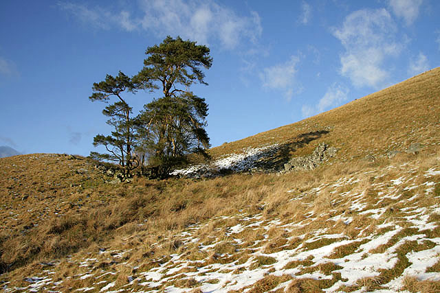 Scots pines on Castle Hill