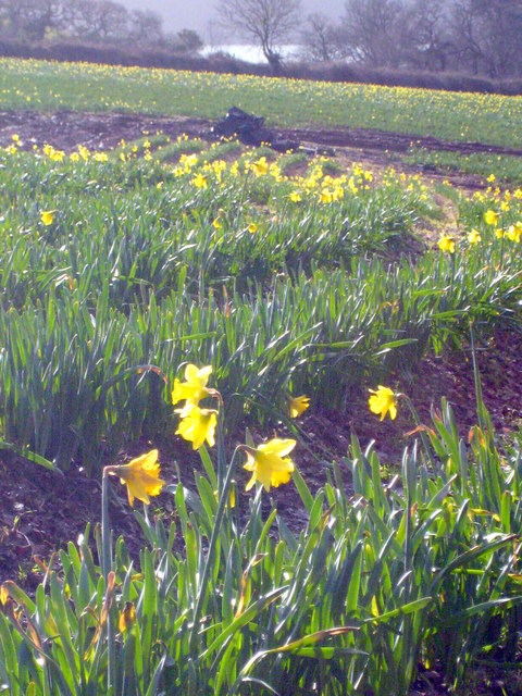 Daffodil field at Nansidwell