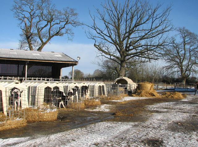 Dairy calves at Nene Valley Farm