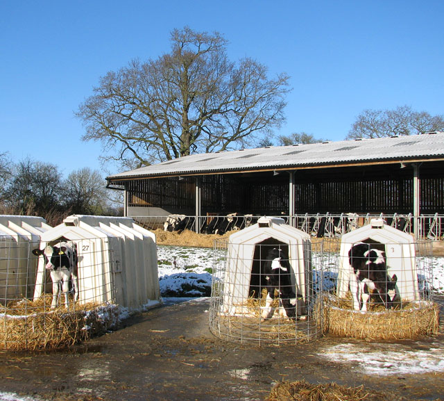 Cattle on a dairy farm
