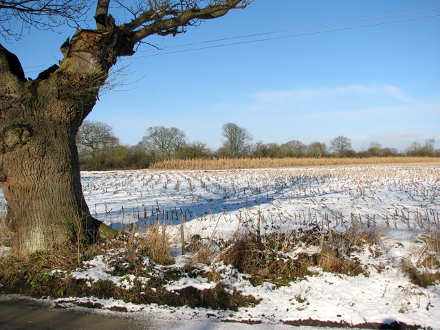 Snowy field with maize stubble