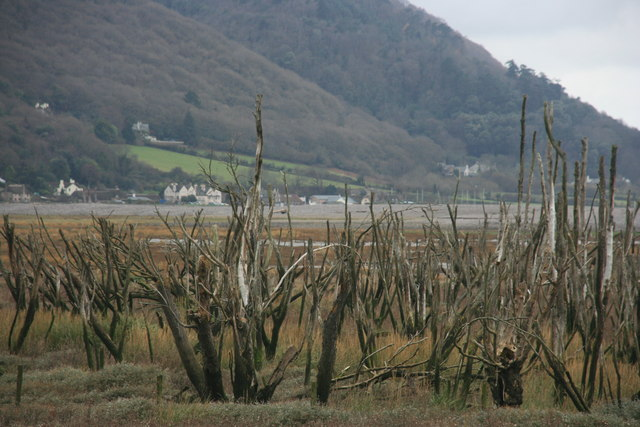 Dead trees, The Marsh, Porlock