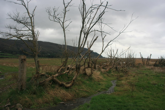 A line of dead trees, Porlock