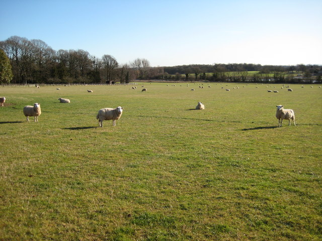 Sheep near Laughern Hill